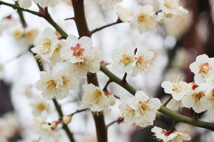 早春の白い梅の花の写真素材 [FYI01241231]