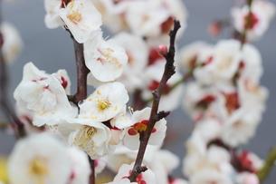 早春の白い梅の花の写真素材 [FYI01241236]