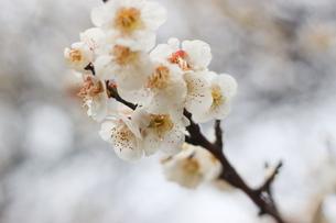 早春の白い梅の花の写真素材 [FYI01241248]