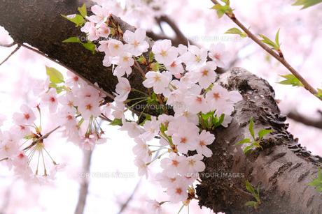 桜の花と力強い幹の写真素材 [FYI01241313]