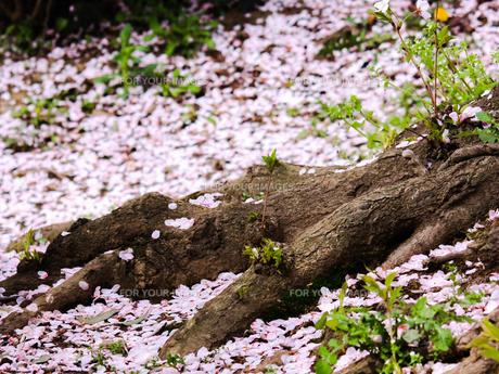 桜の木の根と地面を覆う桜の花びらの写真素材 [FYI01241314]