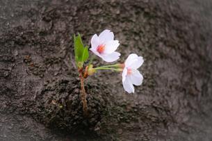 幹のこぶに咲く小さな桜の花の写真素材 [FYI01241315]