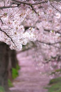 桜の咲く小道の写真素材 [FYI01241316]