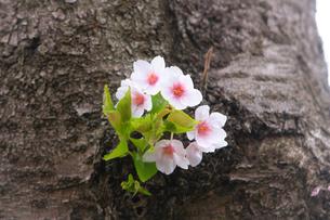幹に咲く小さな桜の花の写真素材 [FYI01241317]