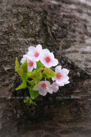 幹に咲く小さな桜の花の写真素材 [FYI01241318]