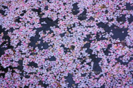 池の水面に浮かぶ桜の花びらの写真素材 [FYI01241320]