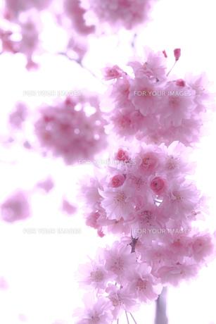 枝垂桜(シダレザクラ)の写真素材 [FYI01241322]
