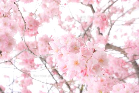 枝垂桜(シダレザクラ)の写真素材 [FYI01241323]