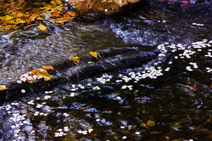 桜の花びらが浮かぶ小川の水面の写真素材 [FYI01241324]