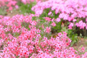 シバザクラ(芝桜)の写真素材 [FYI01241325]