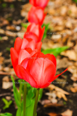 咲き並ぶ赤いチューリップの写真素材 [FYI01241328]