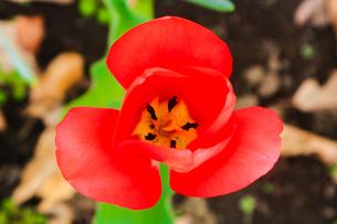 赤いチューリップ(花びら)の写真素材 [FYI01241329]