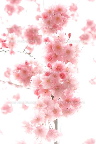 枝垂桜(シダレザクラ)の写真素材 [FYI01241390]