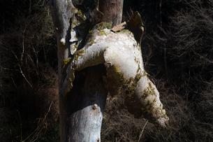 木の幹から皮が剥がれ落ちそうになっているの写真素材 [FYI01241418]