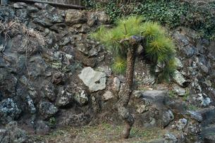 石垣の前に一本の小さな松が植えられていたの写真素材 [FYI01241419]