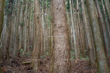 手入れの行き届いた山林の写真素材 [FYI01241422]