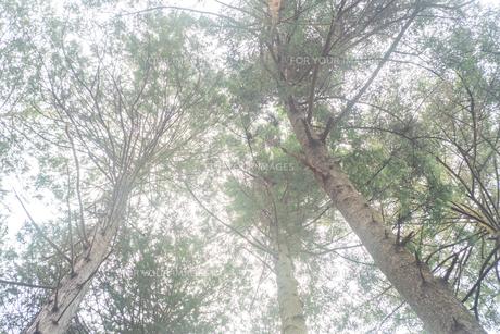森の木々によって空が覆われているの写真素材 [FYI01241424]
