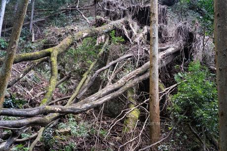 もはや生物と化した樹木の写真素材 [FYI01241435]