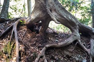 斜面にむき出しになりながらも根を張る樹木の写真素材 [FYI01241437]