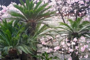 南国っぽい植物と桜の写真素材 [FYI01241443]