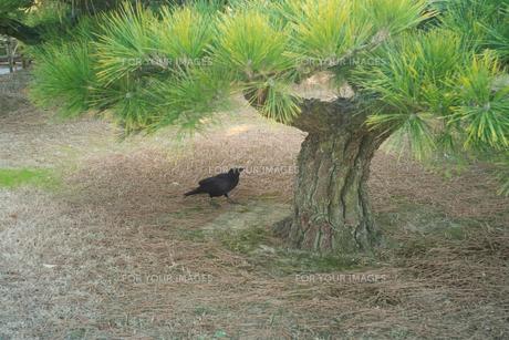 小さな松の近くをカラスが歩いているの写真素材 [FYI01241445]