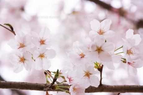 枝に並ぶ桜の花の写真素材 [FYI01241446]
