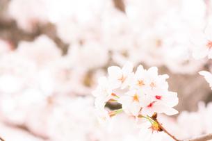桜の花(アップ)の写真素材 [FYI01241447]