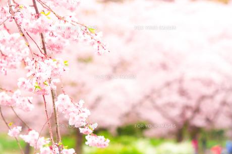 桜(ソメイヨシノ)をバックにした枝垂桜(シダレザクラ)の写真素材 [FYI01241450]