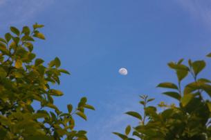 木立の間に見える昼間の月の写真素材 [FYI01241454]