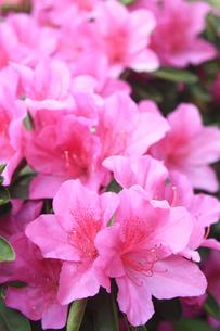 ピンクのツツジの写真素材 [FYI01241455]