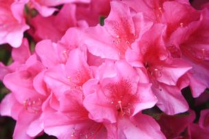 ピンクのツツジの写真素材 [FYI01241457]