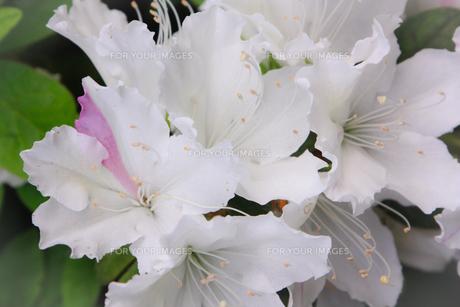 白いツツジ(ピンク交じり)の写真素材 [FYI01241458]