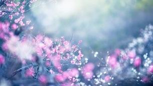 冬の優しい逆光の中で咲き誇る紅白の梅の写真素材 [FYI01241522]