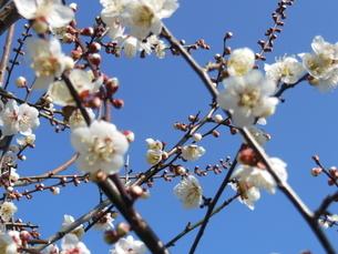 白梅の写真素材 [FYI01241602]