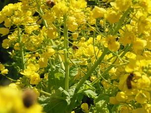 菜の花の写真素材 [FYI01241604]
