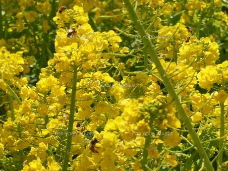ミツバチと菜の花の写真素材 [FYI01241605]