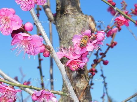 梅とミツバチの写真素材 [FYI01241607]