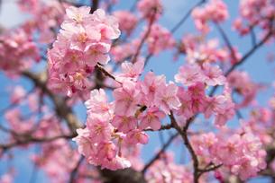 ピンク色の桜の写真素材 [FYI01241696]