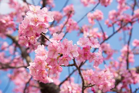 ピンク色の桜の写真素材 [FYI01241701]