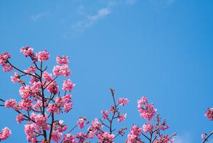 ピンク色の桜の写真素材 [FYI01241704]