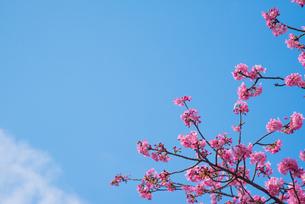 ピンク色の桜の写真素材 [FYI01241706]