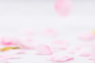 桜花びらイメージの写真素材 [FYI01241719]