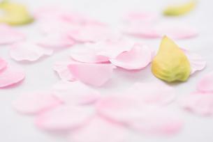 桜花びらイメージの写真素材 [FYI01241720]