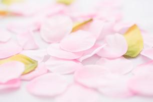 桜花びらイメージの写真素材 [FYI01241721]