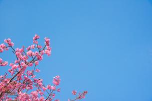 ピンク色の桜の写真素材 [FYI01241730]