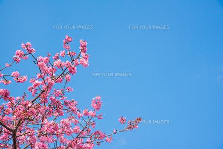 ピンク色の桜の写真素材 [FYI01241747]