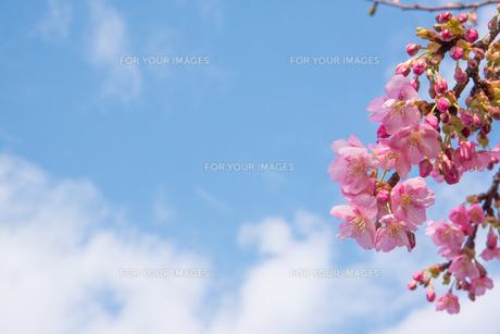 ピンク色の桜の写真素材 [FYI01241773]
