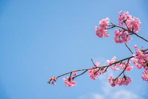 ピンク色の桜の写真素材 [FYI01241785]