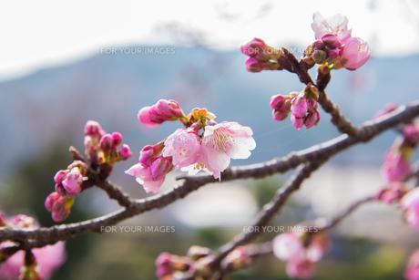 ピンク色の桜の写真素材 [FYI01241796]