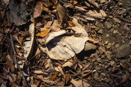 瑞々しい枯れ葉が落ちているの写真素材 [FYI01241847]